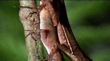 Anolis Lizard Love