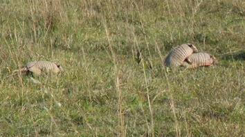 The Joy Of The Chase – Six-Banded Armadillo