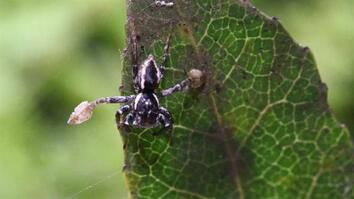 "Watch: Male Spiders Wave Leg ""Paddles"" to Attract Lady Spiders"