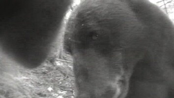 Crittercam POV: Brown Bears Socializing