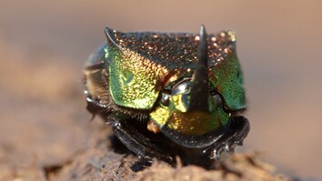 Meet a Beautiful Beetle That Loves to Eat Poop