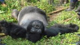 Gorillas Executed in Congo Park