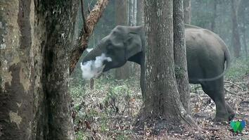 Wild Elephant Blows Smoke in Unusual Video