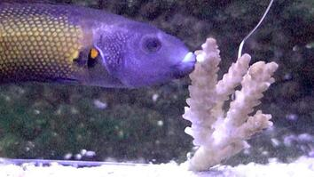 These Slimy Fish Lips Are Made for Eating Coral