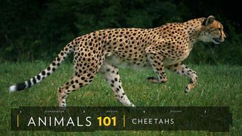 Cheetahs 101