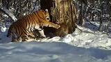 Tiger Cubs Caught on Camera in Russia