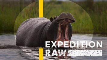 Close Call: When a Hippo Flips Your Boat