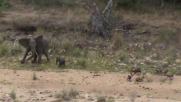 Watch & Listen: Elephants Protect Their Baby From Wild Dogs