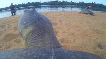 POV: Ride on the Back of a Giant River Turtle