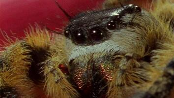 Spiders Jump With Deadly Accuracy in Green Light