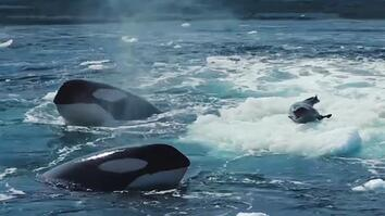 Watch a Crabeater Seal Evade a Pod of Hungry Orcas