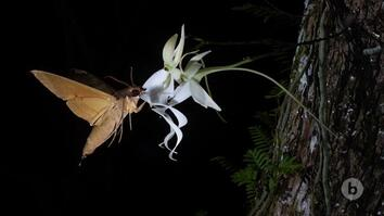 Rare ghost orchid has multiple pollinators, groundbreaking video reveals