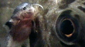 Mouth Brooding Fish