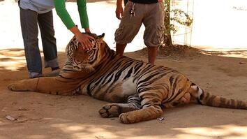 Special Investigation: Famous Tiger Temple Implicated in Illegal Trade
