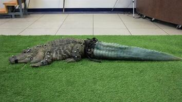 Mr. Stubbs the Tailless Alligator Isn't Stubby Anymore
