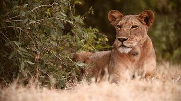 Lion Protector: Biologist Helps Big Cats and People Coexist