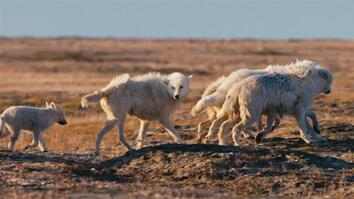 Watch Arctic wolf pups on first family outing, in rare footage