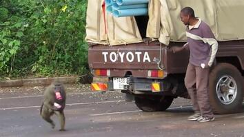Thieving Baboons Know When To Steal From You