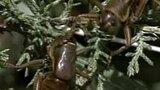 Mormon Crickets