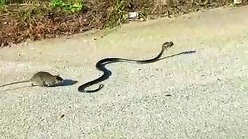 Mother Rat Saves Baby from Snake