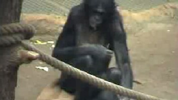 Bonobos Say No by Shaking Heads Like Human?