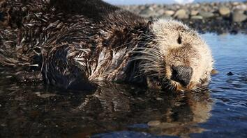Why Hundreds of Sea Otters Died in the Pacific