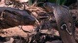 Cobra vs. Monitor Lizard