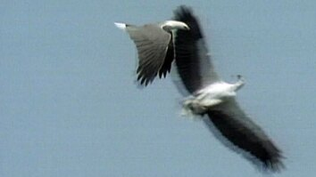 White-Bellied Sea Eagles Whirl
