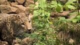 New Hope for Persian Leopards Once Hunted Near Extinction
