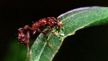 Acacia Tree Ants