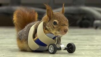 Prosthetic Wheels Put a Squirrel on the Road to Recovery
