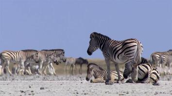 Zebras Risk Their Lives to Reach This Place Every Year