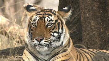 Can India's Tigers and Tourists Get Along?
