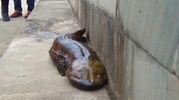 At Least Five New Giant Salamander Species Identified