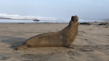 New Discovery: These Seals Can Recognize Each Other's 'Voices'