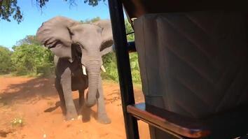 Elephant Rams Safari Vehicle, Breaks Tusk