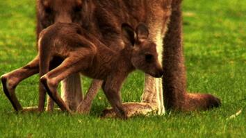 World's Weirdest: Kangaroo Birth