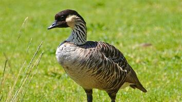 Hawaii State Bird on Comeback