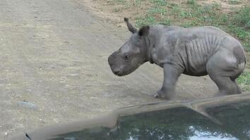 Baby Rhino Picks Fight With Car, Changes Mind