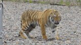 Siberian Tiger Rescued From City Streets, Returned to Wild
