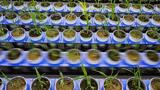 Tomatoes Shed Light on How Plants Fight Drought
