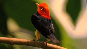 """World's Weirdest: Birds """"Moonwalk"""" to Impress the Ladies"""