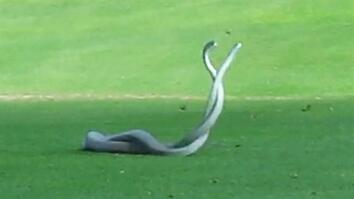 WATCH: Two of World's Deadliest Snakes Battle on Golf Course