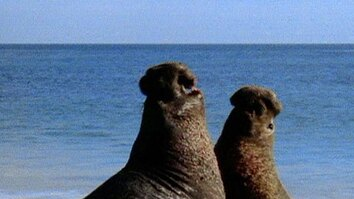 Elephant Seal Wrestling