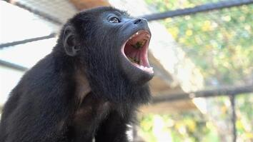 Endangered Baby Howler Monkey Is Known as a 'Drama Queen'