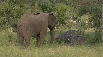 Rare New Video Captures Elephants Mourning