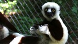 Could Vaccines Help Save Endangered Lemurs?