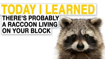 TIL: There's Probably a Raccoon Living On Your Block