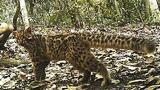 Elusive Marbled Cat Filmed