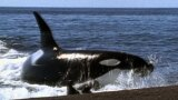Killer Whales Attack on Shore